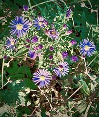 asters (delnaet) Tags: oktober autumn hersfst fleur bloem flower blume aster fantasticnature flor flora octobre