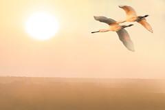 Early in the morning (hardy-gjK) Tags: birds vögel oiseaux natur nature animals tiere löffler spoonbill hardy nikon wildlife morning light dunst nebel fog mist haze sun sonne