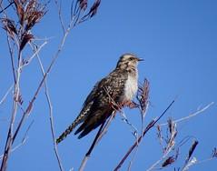 Pallid Cuckoo (RJNumbat) Tags: pallid cuckoo