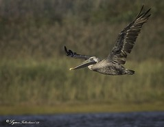 2I1A3091a (lfalterbauer) Tags: brownpelican nature wildlife ornithology avian beach ocean inlet stoneharbor canon 7d mark ii