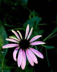 One Last Coneflower (joeldinda) Tags: 4752 1v2 2019 autumn colors coneflower echinacea fall flowers home mulliken nikon nikon1v2 october potter v2 yard 20191006aroundtheyard1v2raw254752
