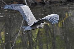 Héron cendré (Val de loire 37) Tags: héron bird sologne