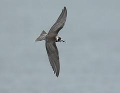 American Black Tern   Dorset (minvallaa) Tags: tern black american marsh migrant freshwater autumn mega rare dorset