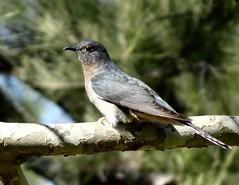 Fan-Tailed Cuckoo (RJNumbat) Tags: fantailed cuckoo