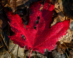 Red Leaf, Chester Creek, Duluth 10/6/19 (Sharon Mollerus) Tags: duluth redleaf fall chestercreek minnesota mn c19
