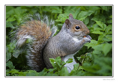 Nut Muncher (Seven_Wishes) Tags: newcastleupontyne gateshead claravale outdoor photoborder canoneos5dmarkiv sigma150600mm563contemporarydgoshsm nature wildlife rodent mammal squirrel greysquirrel foliage nut feeding eating 2019 tyneandwear uk views3k