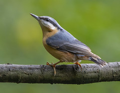 Nuthatch (Steven D'Cruze) Tags: eurasiannuthatch sittidae nikond3s fullframe fx sigma 150600mm contemprary bird passerine perched
