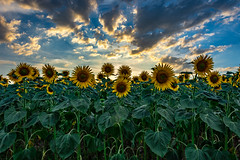 Sunflowers at sunset (FVillalpando) Tags: red sunflower sunset light colours blooming sky clouds agriculture ngysa