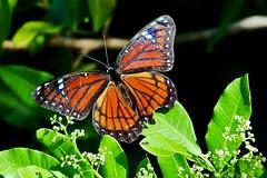 Viceroy Butterfly Battered But Still Beautiful (Limenitis archippus) (Susan Roehl) Tags: fiddlerscreek wetlands southernflorida usa viceroybutterfly batteredbutbeautiful limenitisarchippus canada mexico statebutterflyofkentucky sueroehl panasonic lumixdmcgh4 100x400lens handheld coth5 ngc sunray5 npc