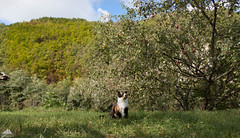 Under The Apple Tree (Xena*best friend*) Tags: shellyann appletree apple autumninwoods autunno autumn cats whiskers feline katzen gatto gato chats furry fur pussycat feral tiger pets kittens kitty animals piedmontitaly piemonte canoneos760d italy wood woods wildanimals wild paws calico markings ©allrightsreserved purr digitalrebelt6s efs1855mmf3556is flickr outdoor animal pet photo nature catlover