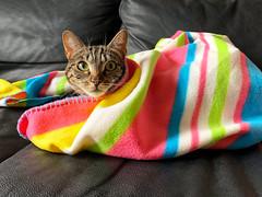 Lola Stays Out (Ron van Zeeland) Tags: animals huisdieren pets pet colours deken katten poezen poes kat lounge pussycat pussy cats cat blanket lola