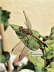The Devil's Needle (haidarism (Home Sweet Home)) Tags: dragonfly insect animal toolwiz folklore ngc