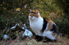 Åsta på tur (KvikneFoto) Tags: katt cat åsta høst autumn fall bokeh snø snow