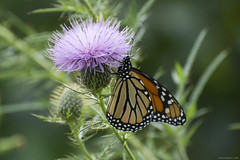 Butterfly 2019-150 (michaelramsdell1967) Tags: butterfly butterflies nature macro animal animals insect insects monarch monarchs orange green black purple beauty beautiful pretty lovely vivid vibrant detail delicate fragile upclose closeup wildlife meadow bug bugs zen