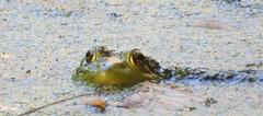 5252e  bullfrog peek  **Explore** (jjjj56cp) Tags: frog waterfrog americanwaterfrog bullfrog inthewild glenwoodgardens greatparks cincinnati oh ohio cincinnatiohio amphibian peeking eyes closeup details macro duckweed pondsurface vernalpond green p1000 coolpixp1000 nikoncoolpixp1000 jennypansing explore explored ngc npc