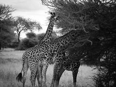 TOWER OF GIRAFFE (eliewolfphotography) Tags: giraffe giraffes blackandwhite animals africa african tanzania tarangire travel tarangirenationalpark conservation conservationphotography nature naturelovers nikon naturephotography naturephotographer natgeo wildlife wildlifephotographer wildlifephotography