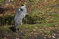 Héron cendré (Val de loire 37) Tags: héron sologne bird