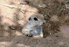 """Hmmm... Where To Go"" -- Round-tailed Ground Squirrel (Spermophilus tereticaudus); Oro Valley, AZ, [Lou Feltz] (deserttoad) Tags: nature rodent mammal squirrel groundsquirrel ranch burrow arizona behavior"