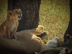 CURIOSITY (eliewolfphotography) Tags: lion lions lionking lioncub wildlife wildlifephotographer wildlifephotography nature naturelovers nikon naturephotography natgeo naturephotographer natgeowild safari serengeti serengetinationalpark safariphotography bigcats conservation conservationphotography