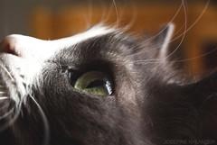 Totte (josefinenylander) Tags: forest cat totte cute baby gray white portrait closeup macro adorable pets
