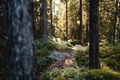 (thedrowsy) Tags: nature tree trees forest wood woods light autumn fall mood tones 50mm sweden sverige swe scandinavia jämtland norrland strömsund fångsjön sony alpha a7riii
