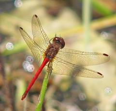Autumn meadowhawk - in the mountains (Vicki's Nature) Tags: autumnmeadowhawk small male red dragonfly water lake bokeh sparkles fannincounty pond georgia october vickisnature canon s5 2750 tinierthanthemalesgibbsgardens zzj