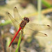 Autumn meadowhawk - in the mountains