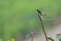Western Emerald (Truus & Zoo) Tags: hummingbird kolibrie