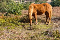 Icelandic Horse   IJslandse paard   Posbank (Leo Kramp) Tags: web wwwleokrampfotografienl natuurfotografie zoogdieren data dieren photography plaatsen leokrampfotografie ijslandsepaard nederland 2019 2010s posbank animals icelandichorse mammals naturephotography netherlands places