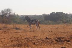 Zebra (Rckr88) Tags: zebra zebras animals animal krugernationalpark southafrica kruger national park south africa naturalworld nature outdoors wilderness wildlife