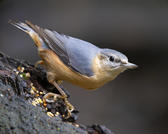 Nuthatch (Steven D'Cruze) Tags: eurasiannuthatch sittidae nikond3s fullframe fx sigma 150600mm contemporary bird passerine perched