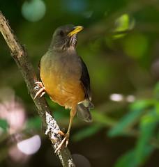 Olive Thrush (Turdus olivaceus)-3844 (Dave Krueper) Tags: africa aves bird birds landbird olth passeriformes passerine southafrica thrush turdidae