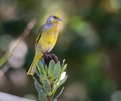 Cape Canary (Serinus canicollis) -3979 (Dave Krueper) Tags: africa aves bird birds caca canary fringillidae landbird passeriformes passerine southafrica