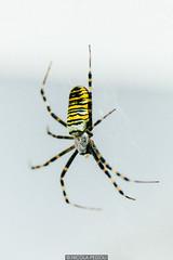 Tiger (Nicola Pezzoli) Tags: italy italia lombardia val seriana bergamo leffe gandino nature natura macro spider yellow ragno tigre