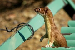 Long Tailed Weasel (wfgphoto) Tags: longtailedweasel cattleguard sunshine