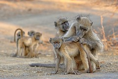 Not now Mom, they're looking! (juanita nicholson) Tags: baboon chacma chacmababoon family wildlife outdoors nature wild child animals grooming eyes stare ngysaex