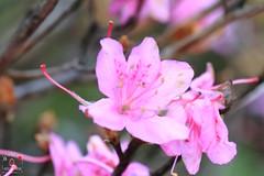 高山杜鵑 (~金玉~ Y.C.CHEN) Tags: canon color colorful nature green light beautiful bokeh plant pink flower outside outdoor marco