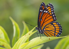 Viceroy (Bernie Kasper (6 million views)) Tags: art berniekasper butterfly bugs bigoaksnwr color colour d750 family floral flower flowers fun green hiking indiana indianawildflowers insect insects indianabutterflies image light landscape leaf love leaves madisonindiana macro nature nikon naturephotography new outdoors outdoor old outside photography plant photos photo people raw sigma summer fall nikkor national bug unitedstates usa wildflower wildflowers wings wing orange viceroy