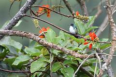 Andean Emerald (Truus & Zoo) Tags: hummingbird kolibrie