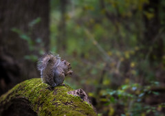 i SEE you .... (Saul G.) Tags: fall autumn forest park nature squirrel outdoors nikon d7200 samyang 135mm bokeh