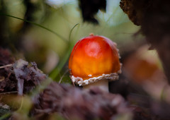 Hidden in the root of a tree (VintageLensLover) Tags: fliegenpilz pilze herbst natur outdoor nature dof schärfentiefe schärfeverlauf moody sonya7iii pancolar50mmf18 manualfocuslens vintagelenslover