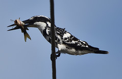 Pied kingfisher (praveen.ap) Tags: piedkingfisher kingfisher kaliveli kalivelilake