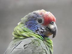 Papagayo de cara roja (josuneetxebarriaesparta) Tags: papagayo ave hegaztia animalia animal