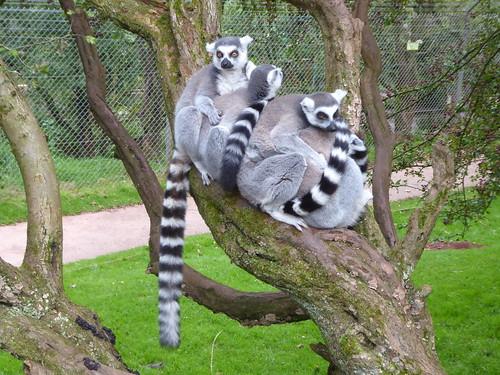 Lemurs Up a Tree!