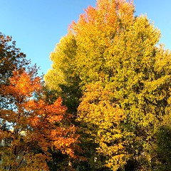 Rich Autumn Colors🍁 (halleluja2014) Tags: maple acer aspen asp populus tremula norwaymaple kvarnberget höstfärger skogslönn autumn october autumncolors falun afternoonsunshine feverishcolors warm platanoides