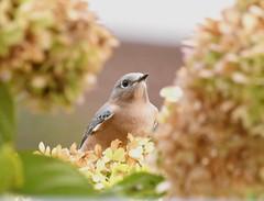 TC1_0644 bluebird in the hydrangea (tbullipoo) Tags: bluebird