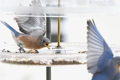 TC1_0614 go away bluebird (tbullipoo) Tags: bluebird