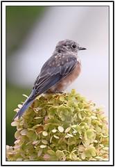 TC1_0528 bluebird on hydrangea with frame (tbullipoo) Tags: bluebird hydrangea