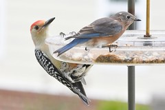 TC1_0478 red-bellied woodpecker and bluebird on feeder (tbullipoo) Tags: bluebird redbellied woodpecker bird