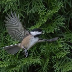 Chickadees in the yard (nickinthegarden) Tags: blackcappedchickadee chestnutbackedchickadee abbotsfordbccanada